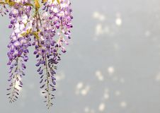 Blue wisteria blossoms, background with sunspots. Blue wisteria blossoms hanging in front of a bright background, wall with sunspot Stock Photo