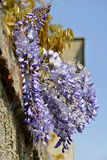 Blue wisteria Stock Images