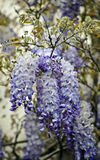 Blue Wisteria flowers. Blue blooming Wisteria garden flowers royalty free stock photo