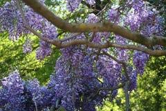Wisteria sinensis flowering. Blue Wisteria sinensis flowering in blue and purple colors of blauwe regen met een zee van blauw paarse trossen bloeiend in de lente Stock Images