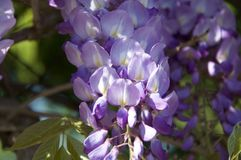Blue wisteria on the tree at the park. Lilac wisteria blooming in the park in Mali Lošinj growing Royalty Free Stock Photos