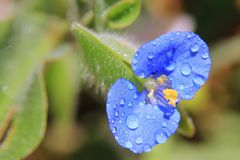 Blue Wonder - Wild Beauty, Dew of Blue Royalty Free Stock Photo