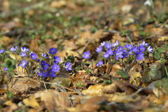 Blue Wood anemone. Early spring i Danish forrest royalty free stock photography