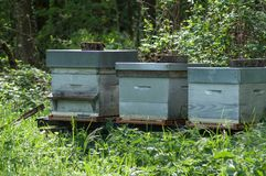 Blue wooden beehives in a green meadow at spring Royalty Free Stock Photo