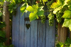 Blue wooden door in autum with grapes. Blue wooden door with a heart in autum with grapes Royalty Free Stock Photo