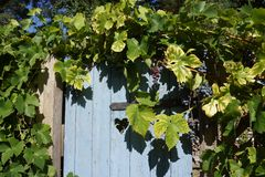 Blue wooden door in autum with grapes. Blue wooden door with heart in autum with grapes Stock Image