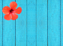 Blue wooden fence with red hibiscus flower Stock Image