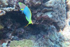 A blue wrasse. A beautiful blue wrasse in topic sea Stock Image