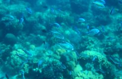 Blue wrasse in coral reef closeup. Tropical sea animal underwater photo. Coral reef fish. Warm sea nature. Colorful tropical fish and corals. Undersea view of royalty free stock photos