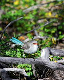 Blue Wren Bird. The Superb Fairywren (Malurus cyaneus), also known as Blue Wren sitting perched amongst dead tree branches. It is commonly found in south-eastern Royalty Free Stock Photography