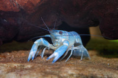 blue yabby Royalty Free Stock Photo