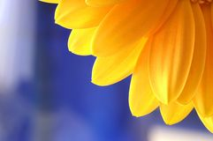 Blue and yellow. Close-up of yellow gerbera on a blue background Royalty Free Stock Photos
