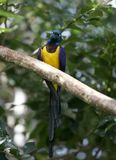 Blue and yellow african bird. Blue, green and yellow bird from Africa. Tropical long tailed feather bird with metalic shines royalty free stock image