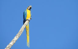 Blue-yellow ara parrot. Blue-yellow feathers big parrots. Ara parrot in tropics Royalty Free Stock Image
