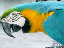 Blue-yellow ara parrot. Blue-yellow feathers big parrots. Ara parrot in tropics Stock Images