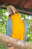 Blue and yellow ara parrot Stock Images