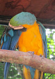 Blue and yellow ara parrot Royalty Free Stock Images