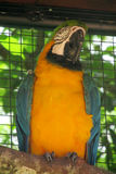 Blue and yellow ara parrot Stock Image