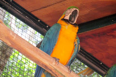 Blue and yellow ara parrot Stock Photo