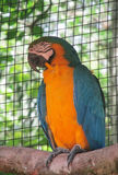 Blue and yellow ara parrot Royalty Free Stock Photo