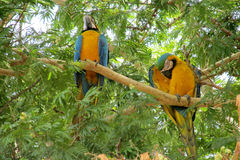 Blue and yellow ara parrots on tree branch royalty free stock photos