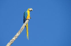 Blue and yellow ara parrots on tree branch royalty free stock photo