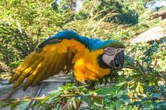 Blue and yellow Ara Royalty Free Stock Image