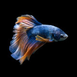 Blue-yellow betta fish isolated on black background Royalty Free Stock Images