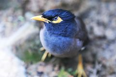 Blue and Yellow Bird Stock Images