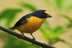 Blue and yellow bird Yellow-throated Euphonia, Euphonia hirundinacea, Costa Rica Royalty Free Stock Images