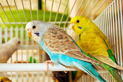 Blue and yellow budgerigars Royalty Free Stock Photo