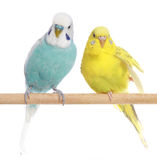 Blue and yellow budgerigars on a branch stock image