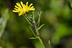 Blue and yellow caterpillar. Blue and yellow caterpillar on a dandelion flower found in the wild Scandinavian nature stock image
