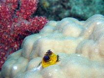 Blue and Yellow Christmas Tree Worm Stock Photos