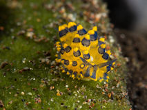 Blue/yellow costasiella sheep nudibranch. On leaf. it almost found at Tulamben in Indonesia Stock Images