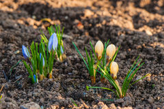 Blue and yellow crocus flowers Royalty Free Stock Image