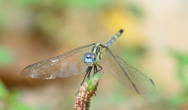 Blue yellow dragonfly standing on green branch ; selective focu Royalty Free Stock Photos