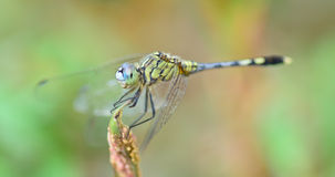 Blue yellow dragonfly standing on green branch ; selective focu Stock Images