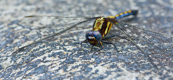 Blue yellow dragonfly standing on ground ; selective focus at e Royalty Free Stock Photos