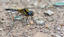 Blue yellow dragonfly standing on ground ; selective focus at ey Royalty Free Stock Photos