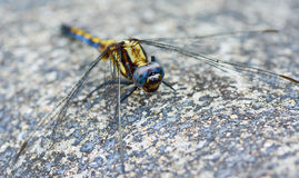 Blue yellow dragonfly standing on ground ; selective focus at ey Stock Image