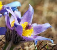 Blue and yellow early springy flower of pasqueflower Stock Image