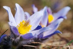 Blue and yellow early springy flower of pasqueflower Royalty Free Stock Image