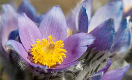 Blue and yellow early springy flower of pasqueflower Stock Photography