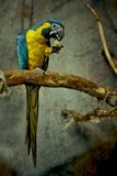 Blue and Yellow Feathered Parrot Royalty Free Stock Photography