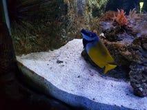 Fish in an aquarium. Blue yellow fish in an aquarium royalty free stock image
