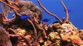 Blue and yellow fish swim on the reef stock video