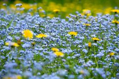 The blue and yellow flowers. A close-up shot of blue and yellow flowers Stock Photography
