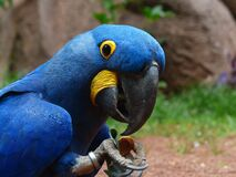 Blue and Yellow Furred Bird Stock Photos