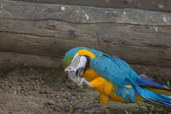 Blue and yellow gold macaw parrot stock photo